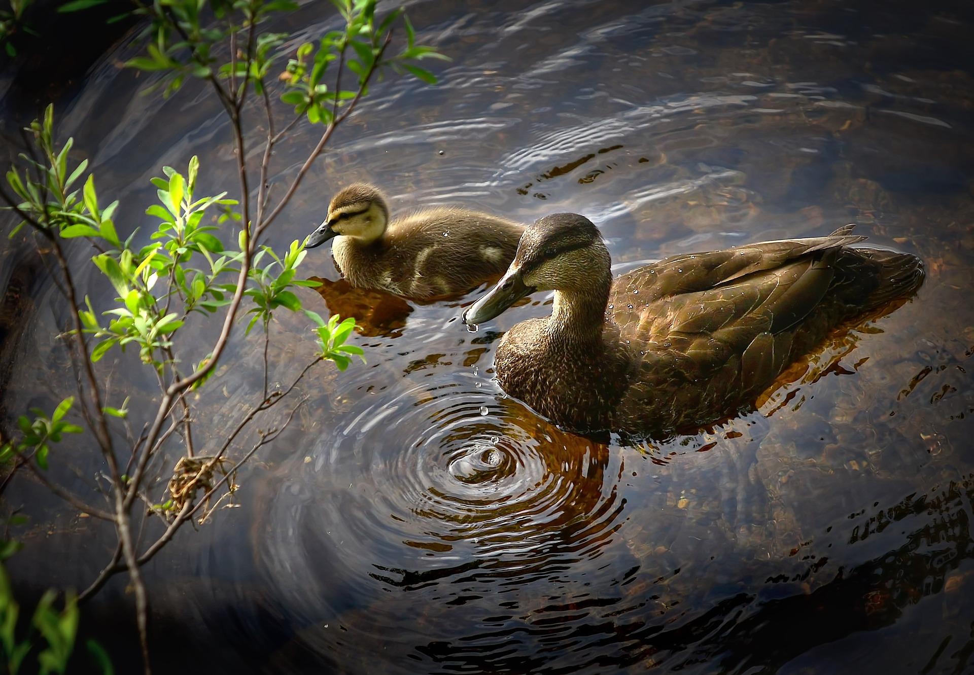 ducks-2449475_1920
